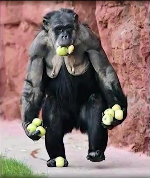 gorillaApples