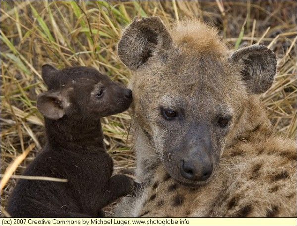baby-hyena-and-mother