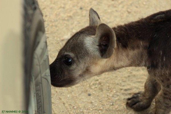 curious-hyena-cub-sniffing-tyres.sized